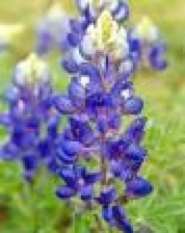 The Texas State Flower-The Bluebonnet