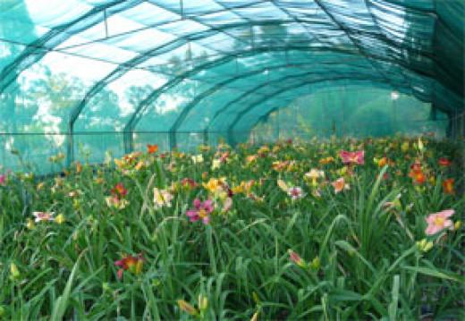 My Daylily Nursery in Australia