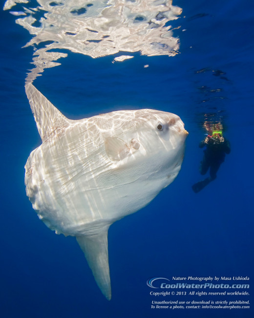 Sunfish or Mola Mola with a diver.