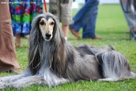 I always loved the Afghan hounds they are gorgeous .