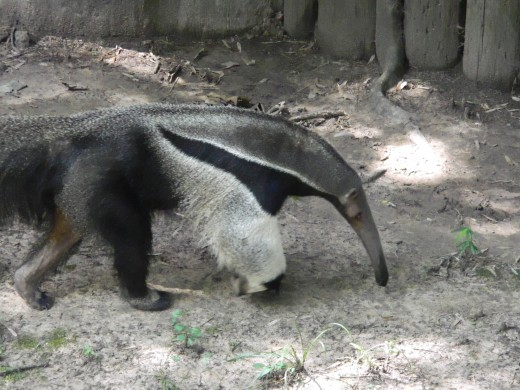 African Anteater