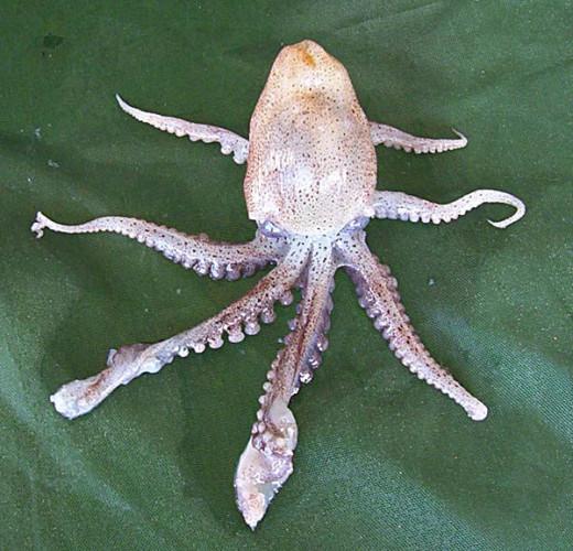 Paper Nautilus (aka. Argonaut )
