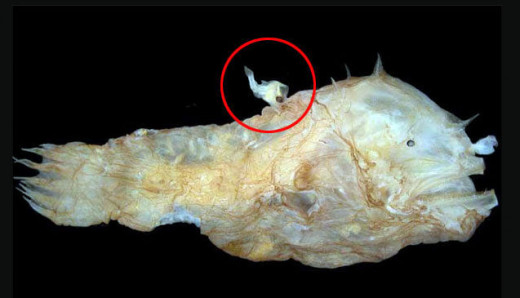 Female Angler Fish with male attached ( in red circle)