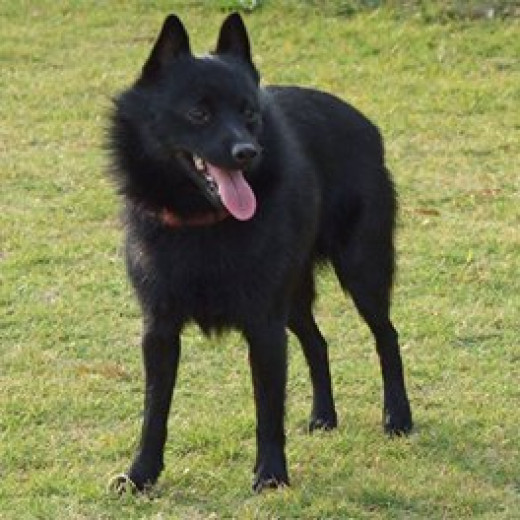 This is a Schipperke who is a non sporting dog.