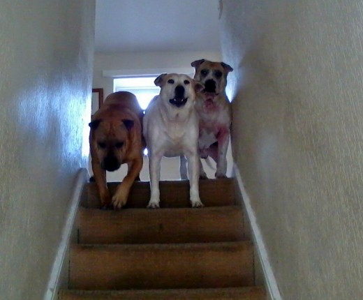 Three of my own dogs, Millie, Squeaker and Roy, weren't happy at having an intruder in the house and kept hanging about outside the door.