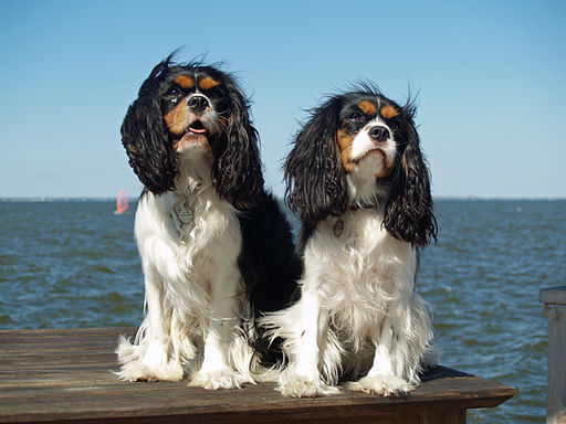 Cavalier King Charles Spaniels are one of the breeds with a predisposition to dry eye because their large eyes have a tendency to bulge