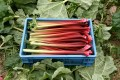 Easy Rhubarb Recipes for Tasty Desserts