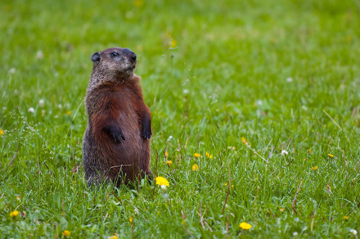 A standing groundhog (woodchuck) near the Mississippi River of Minneapolis, MN. The alert mammal will whistle to warn others of its kind of approaching danger.