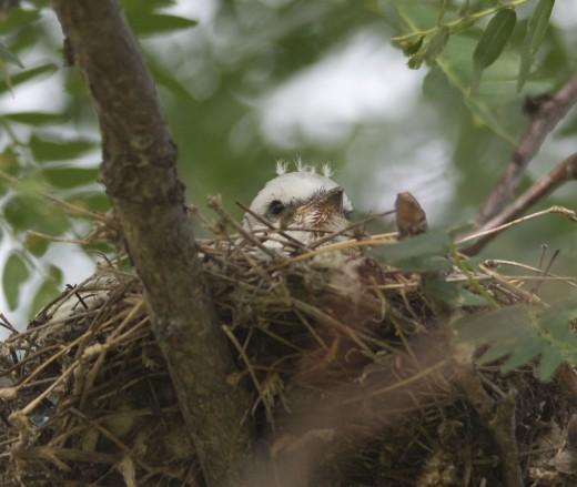 Scissor-tailed Flycatcher Nestling