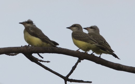 Three Western Kingbird Fledglings, Assorted Ages
