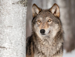 60 Wolf Names and Meanings