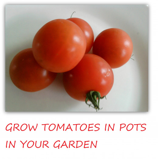 Grow Tomatoes In Pots From Seed How To Grow Healthy Tomatoes