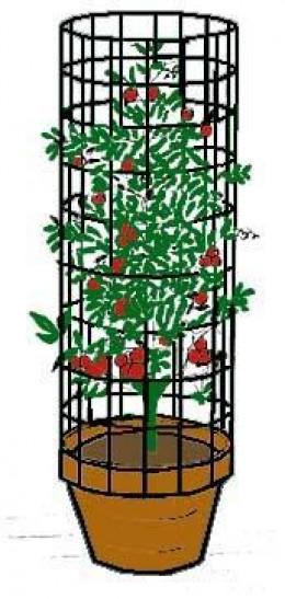 Cages Can Be Used Along With Cucumbers, Tomatoes, and Pole Beans.
