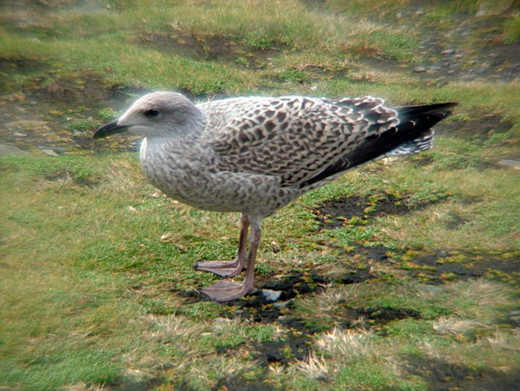 A young seagull, still with its greyish feathers