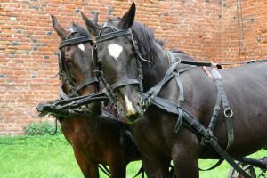 """Team of horses in harness to pull wagon """"home."""""""