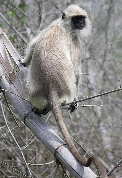 Gray Langur