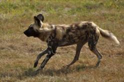 Twenty Rare and Unique Breeds of Dogs
