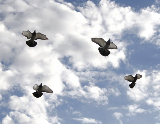 Four Pigeons in Flight