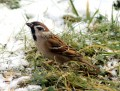 The Tree Sparrow { Birds of Europe}