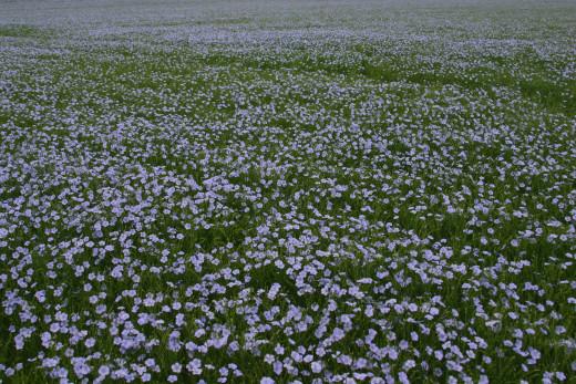 Flax growing in a field