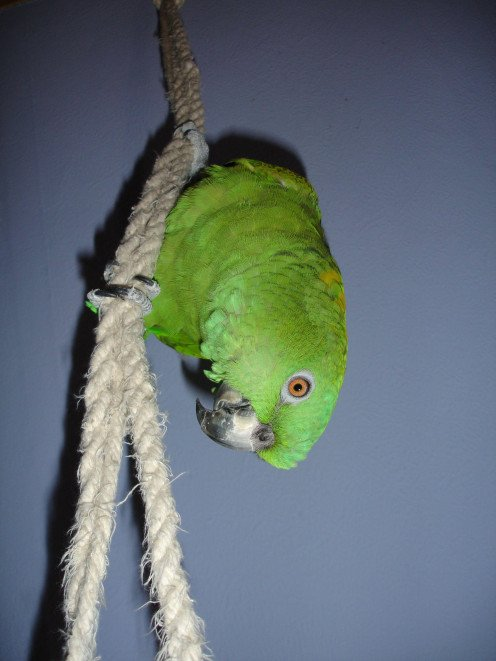 Image: Parrot Climbs on Rope