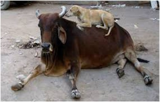 Pariah Dog, with his cow friend.