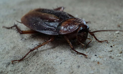 Common Signs of a German Cockroach Infestation