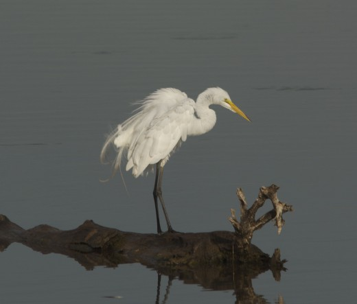 Great Egret Sports Exquisite Breeding Plumage
