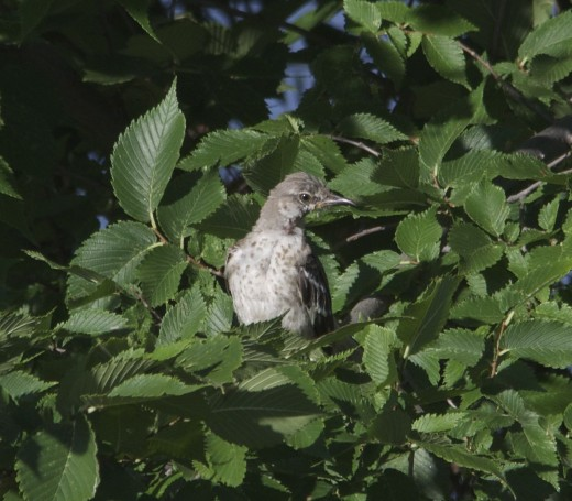 Immature Northern Mockingbird