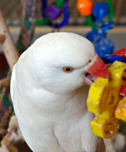Why Parrots Need Toys