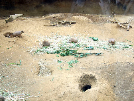 A group of prairie dogs enjoying their daily meal at the San Francisco Zoo.