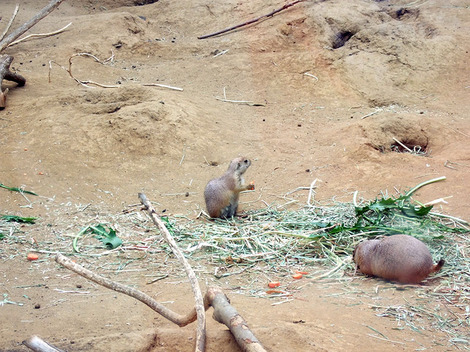 A baby prairie dog keeps a close watch for overhead predators while eating a carrot slice.