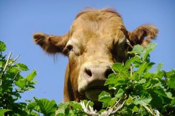 The Many Uses of Cow Dung - A Natural and Renewable Resource