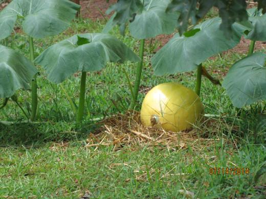 This pumpkin snuck out of the garden.