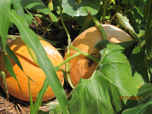 Pumpkins - these are not the eating kind, but I will use them for fall decorations.