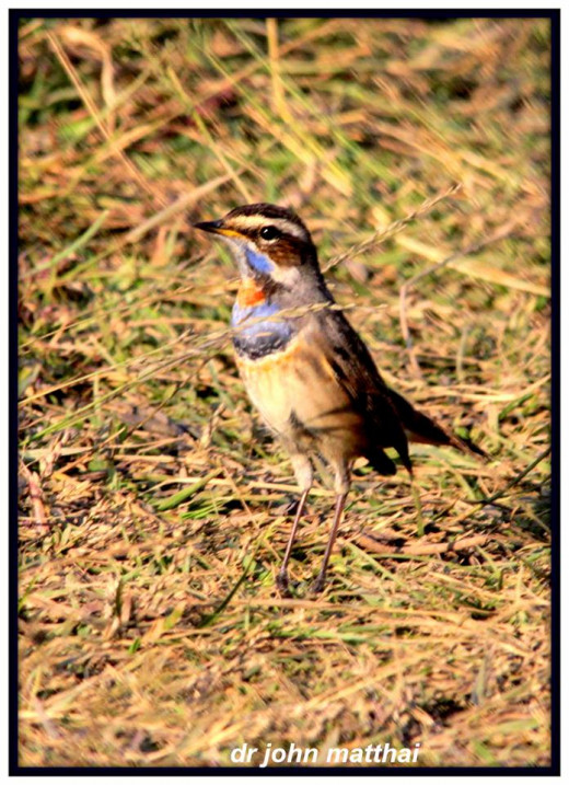 Blue Throat