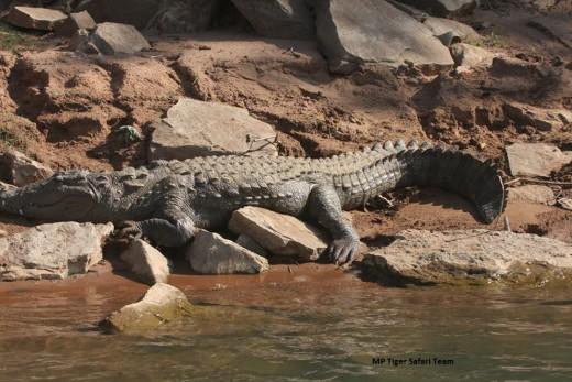 Marsh or Fresh Water Crocodile