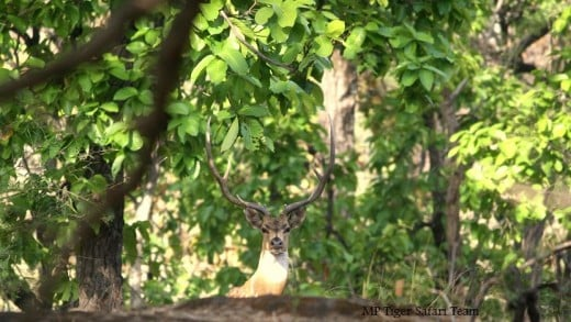Chital Stag