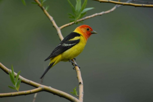 Male western tanager perched on a branch close up
