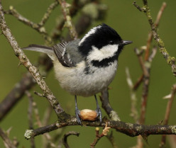 The Coal Tit { Birds of Europe}