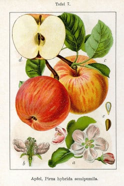Malus domestica, the cider apple, probably originated in Kazakhstan.
