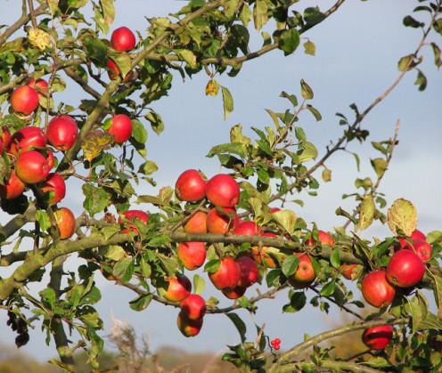 Wild apples in Great Britain.