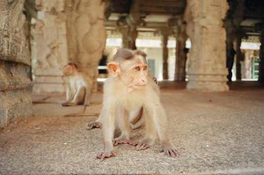 Wild Monkeys In Temple At Hampi