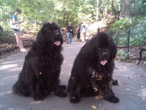 A pair of Newfoundlands