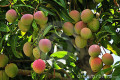 "Mango ""A King Of Summer Fruits"""