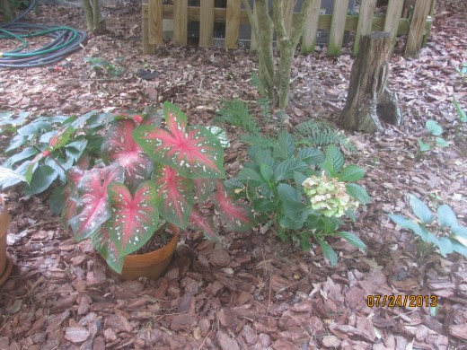 Caladiums planted in a pot - placed next to a hydrangea and hosta (perennial).