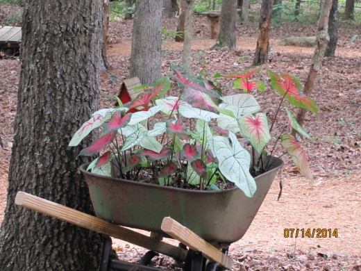 """The """"Caladium Wheelbarrow.""""  I dig these bulbs up in the fall and save for next year."""