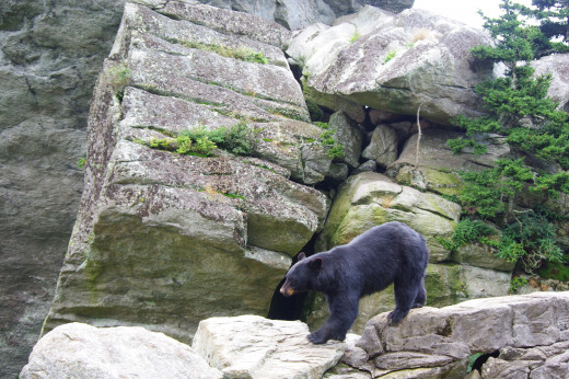 This Black bear in the Grandfather Mountain in North Carolina seems to be on the prowl. It is generally easier to defend oneself against a black bear attack.