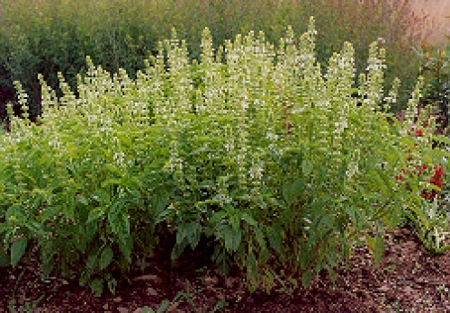 sweet basil bush - Sprigs of basil are dipped into a bowl of holy water.