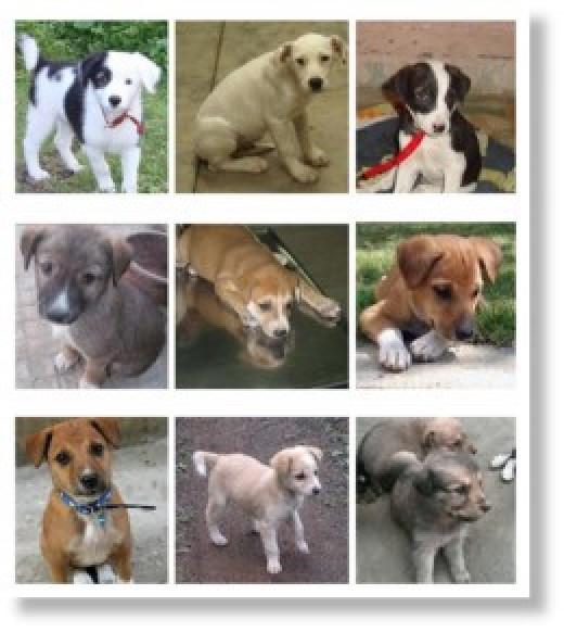 Pariah Puppy for adoption
